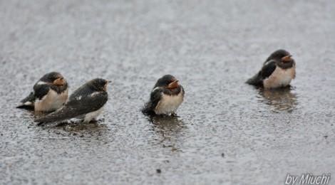 親鳥を待つツバメの巣立ち雛
