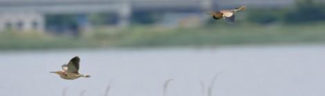 印旛沼のモモイロペリカン、ヨシゴイ