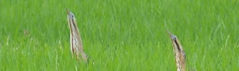 印旛沼のサンカノゴイ