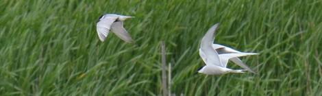 印旛沼のクロハラアジサシ&アジサシ