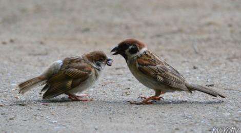 スズメの優しい親鳥