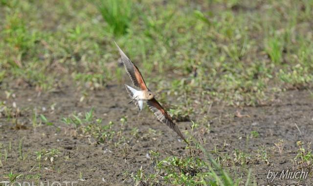 涸沼のツバメチドリ