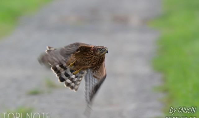 オオタカ幼鳥飛び立ち