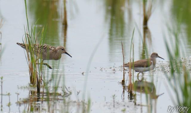 涸沼のエリマキシギ幼鳥