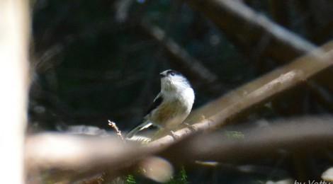 山の鳥~エゾビタキ、エナガ、ノスリ