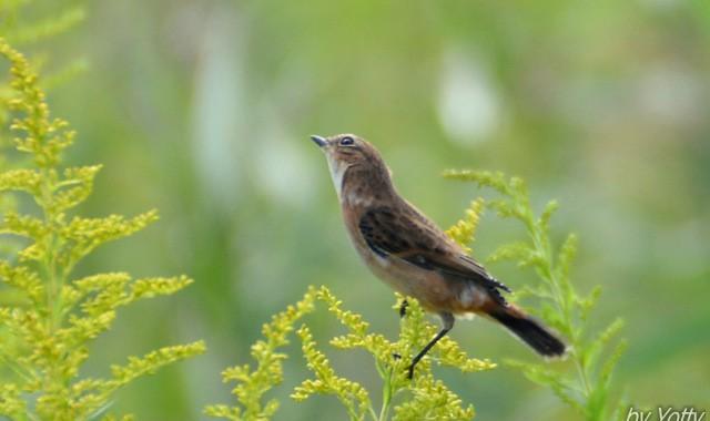 可憐な秋の鳥たち~ノビタキ、モズ