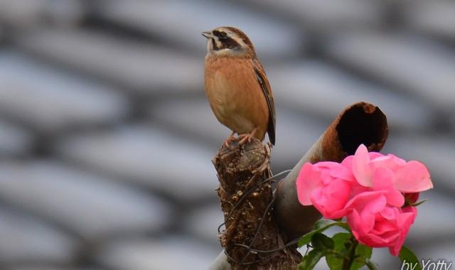 里山探鳥~オオタカ、オオハクチョウ