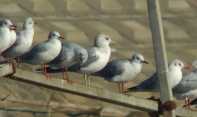 冬鳥カモメ、チョウゲンボウ