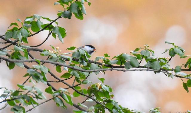 秋の戸隠(1)木の実と小鳥