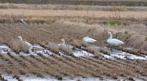 涸沼でウミアイサ&コハクチョウ