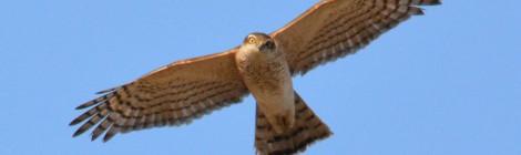 小鳥を狙う猛禽類~ハイタカ、チュウヒ