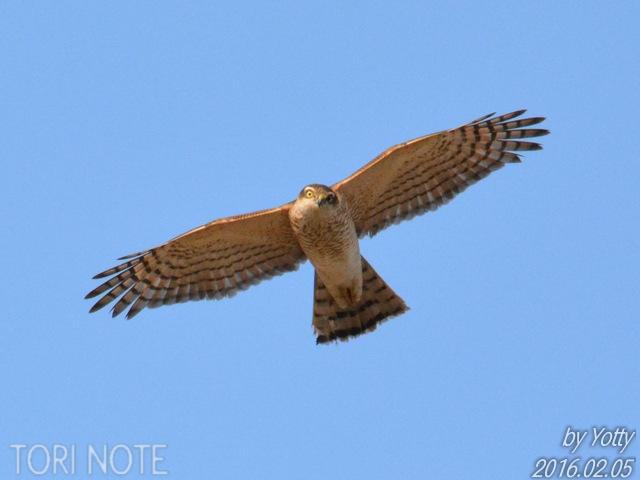小鳥を狙う猛禽類~ハイタカ、チュウヒ   Tori Note -茨城の野鳥観察日誌-