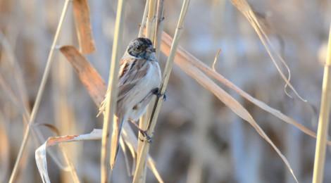 ヨシ原の小鳥たち~ホオアカ、コジュリン
