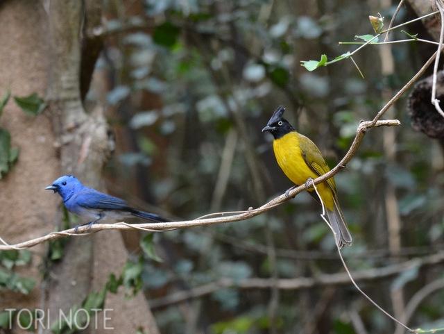 目に鮮やかな鳥たち クロエリヒタキとエボシヒヨドリ