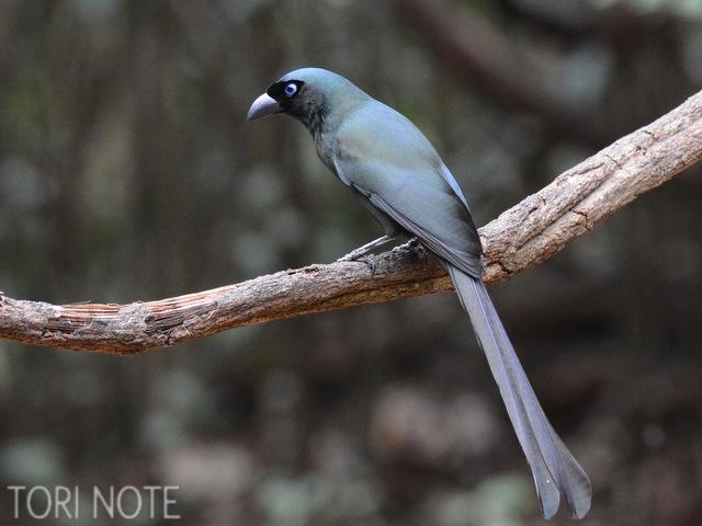 金属的な輝きが目を惹く クロラケットオナガ Racket-tailed Treepie