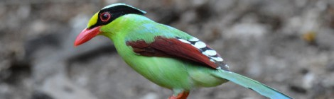 初日は撮れず、2日目にようやく撮れて感動 ヘキサン Common Green Magpie