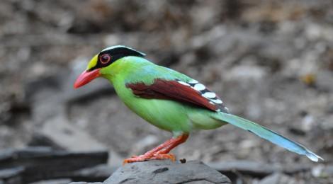 タイ中部の野鳥 Birds in Thailand (2)