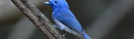 熱帯林らしい色あざやかな小鳥の代表 クロエリヒタキ Black-naped Monarch (♂)