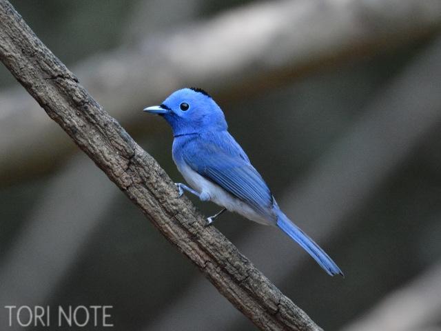 熱帯林らしい色あざやかな小鳥! クロエリヒタキ Black-naped Monarch (♂)