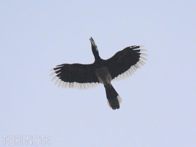 夜が明けて白みつつある空をキタカササギサイチョウが飛ぶ  Oriental Pied Hornbill