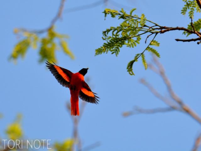 探鳥開始直後、鮮烈な色に衝撃を覚える ヒイロサンショウクイ Scarlet Minivet