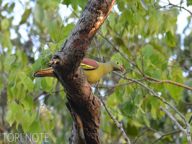 巣材をくわえているのはおしゃれメガネのハシブトアオバト  Thick-billed Green Pigeon