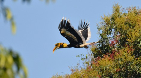飛翔時の美しさに息を呑む オオサイチョウ Great Hornbill