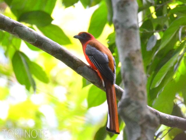 まるで火の鳥のような姿にテンションアップ! ズアカキヌバネドリ Red-headed Trogon