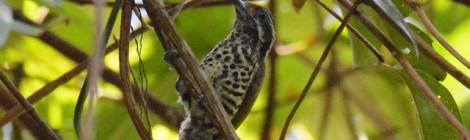 胸のブチ模様にびっくり! アジアヒメキツツキ Speckled Piculet