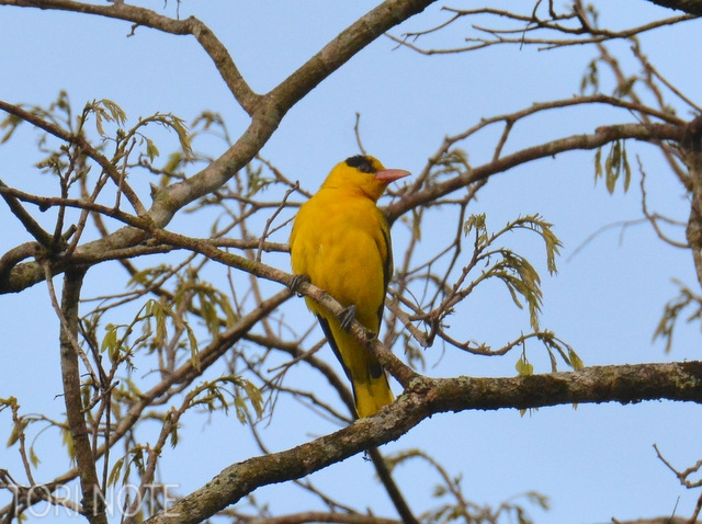 高木を見上げたら日本では珍鳥のあの黄色い鳥が。 コウライウグイス Black-naped Oriole