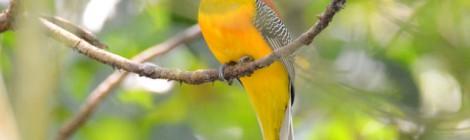 森の奥にひっそりと佇む優雅な鳥 ヤマキヌバネドリ Orange‐breasted Trogon