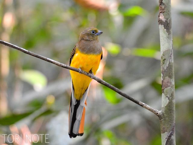 ハイドにいたら正面の枝にファサッと不意にやってきたので驚いた ヤマキヌバネドリ(メス) Orange‐breasted Trogon