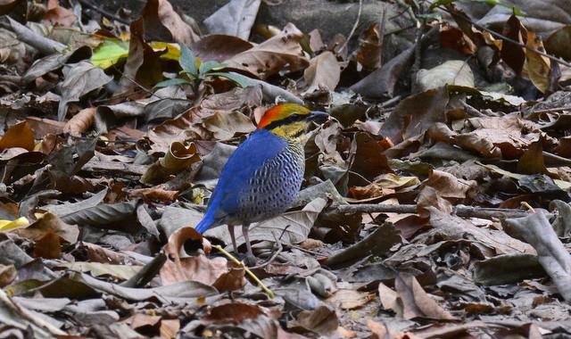 タイ中部の野鳥 Birds in Thailand (7)