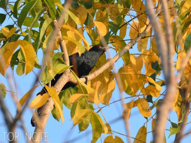 声は聞こえど姿はなかなか見られないというオニカッコウ Asian Koel