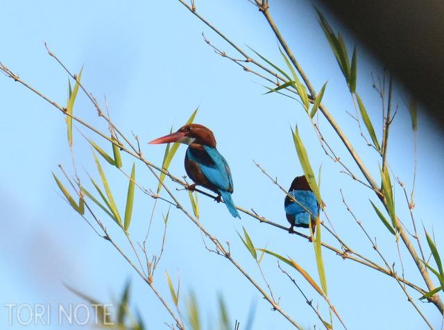 キョロロロという声が聞こえて探しにいくと番の姿が。アオショウビン White-throated Kingfisher