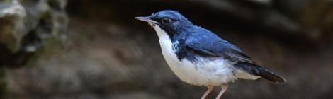 間近で観察すると足の淡いピンク色が素敵なかんじ コルリ Siberian Blue Robin