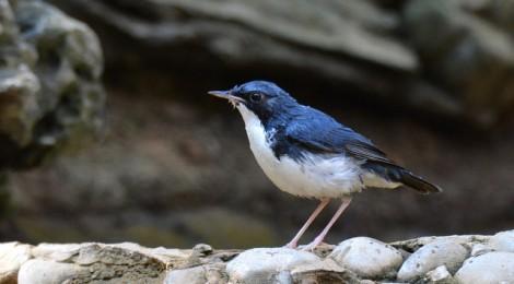 タイ中部の野鳥 Birds in Thailand (8)