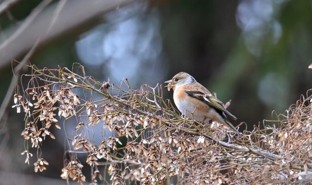 公園の小鳥たち~アトリ、ジョウビタキ、キセキレイ等