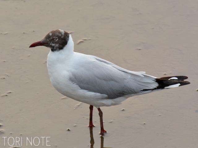 夏羽になると頭が焦茶色になり、ユリカモメと違って目が白い チャガシラカモメ Brown-headed Gull