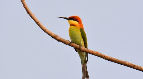 日本では見られないタイプの美しい鳥 チャガシラハチクイ Chestnut-headed Bee-eater