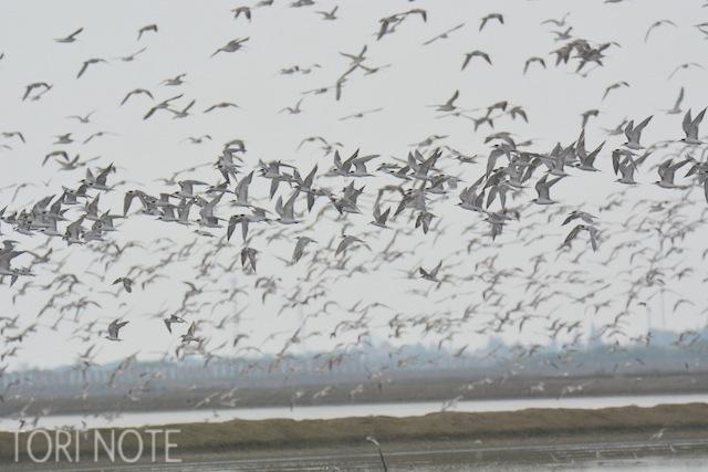 ほかにも色々いそうな気がするけどわかった範囲では… アジサシ&クロハラアジサシ Common Tern & Whiskered Tern