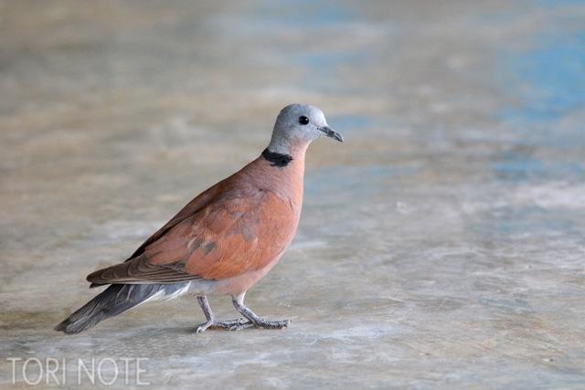 レストランの床をさりげなく歩くのはベニバト Red-collared Dove
