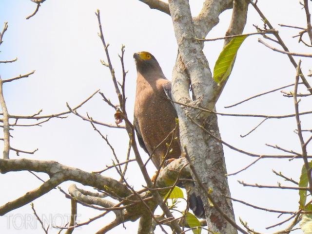 見上げた高木に悠然ととまる カンムリワシ Crested Serpent Eagle