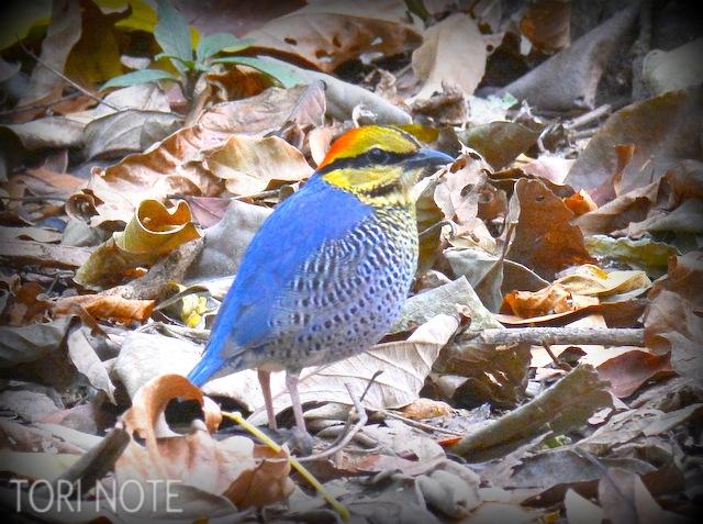 鳥か、はたまた妖精か…神秘の鳥 ルリヤイロチョウ Blue Pitta