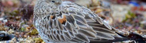平磯のオバシギ、メダイチドリ