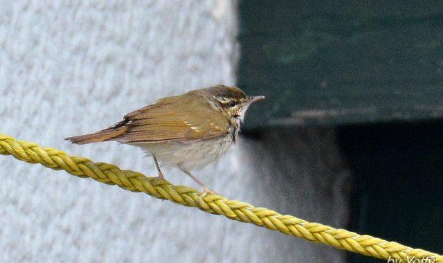 飛島を訪れて(4)ハチジョウツグミ、エゾムシクイ