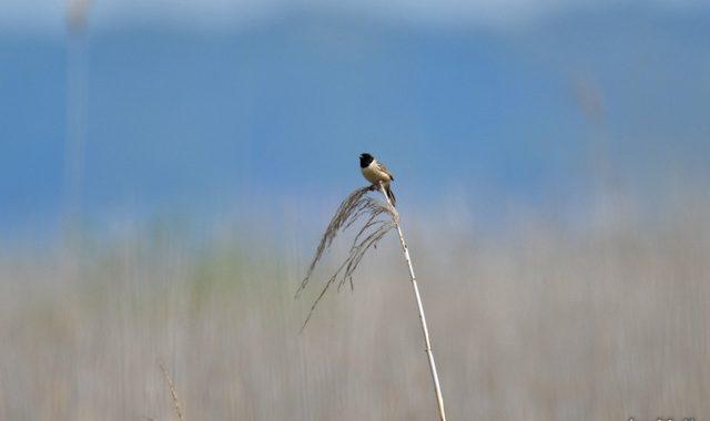 稲敷の草原のコジュリン、セッカ