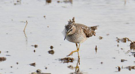 涸沼のシギチ(1)タカブシギ、チュウシャクシギ