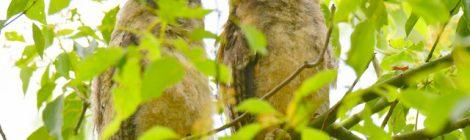 渡良瀬遊水地(1)トラフズクのひなたち