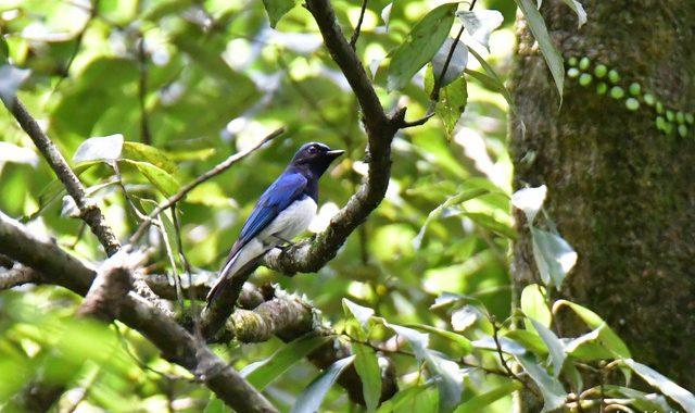 山の小鳥たち~オオルリ、コサメビタキ、キセキレイ